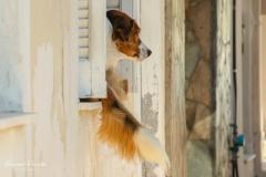 Zakynthos - Oplettende hond  -1