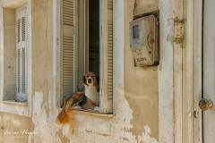 Zakynthos -  Oplettende hond -3