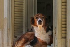 Zakynthos -  Oplettende hond  -4