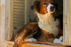 Zakynthos -  Oplettende hond  -5